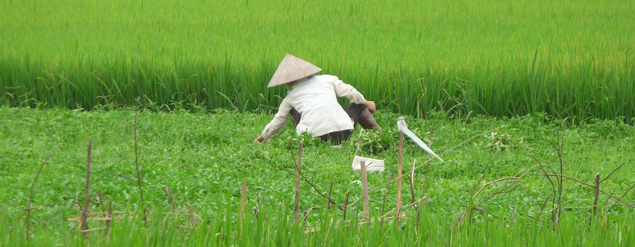 Water is central to life in Thai Binh province, and a changing climate is having an impact on rice harvesting. Typically the harvest wouldnít begin until June, but in some parts of the province this year, it has already begun.