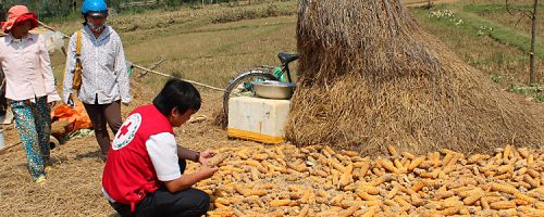 Hoàng Mai District. Vietnam, 2013. Nearly 2 tonnes of corn were damaged by the flood.